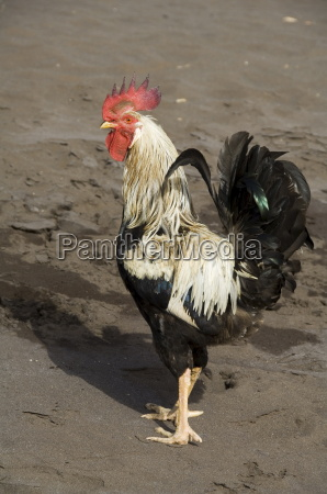 cockerel on beach at cidade velha