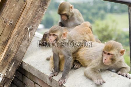 swayambhunath monkey temple kathmandu nepal asia