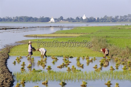 laendliche szene reisanbau amarapura myanmar burma