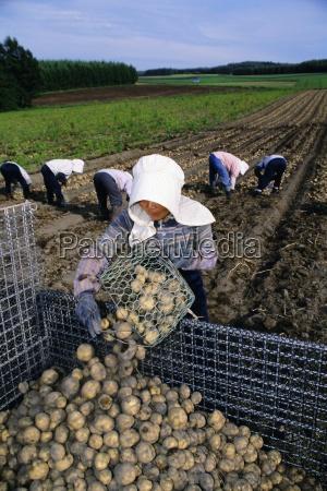 potato harvest hokkaido japan asia