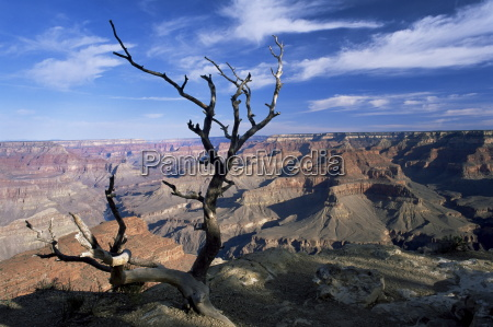 dead tree and view of canyon