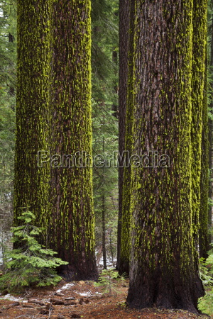 wolfflechten letharia vulpina auf sugar pines