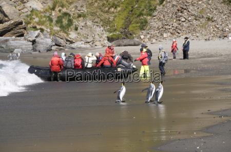 king penguins moltke harbour royal bay
