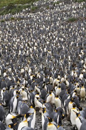 king penguins salisbury plain south georgia