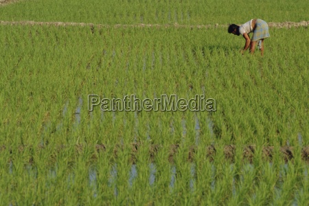 share cropper tending rice in paddyfield