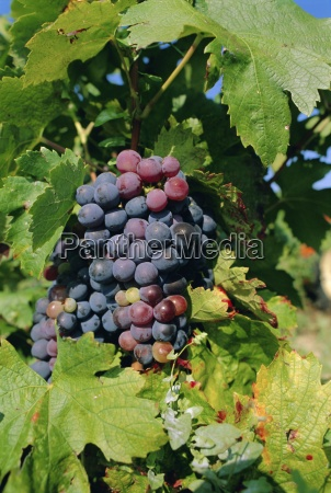 grapes ripe for picking vaucluse region