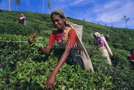 harvesting tea hill country nuwara eliya