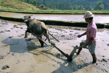 farmer ploughing flooded rice field central