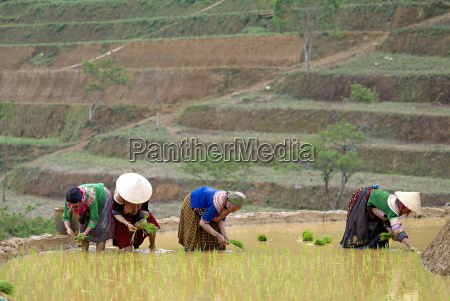 flower hmong women working in the