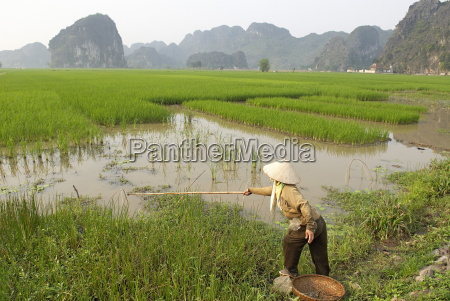fishing in the rice fields tam