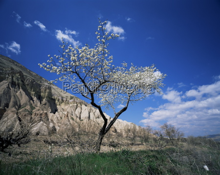 almond tree in bloom zelve cappadocia