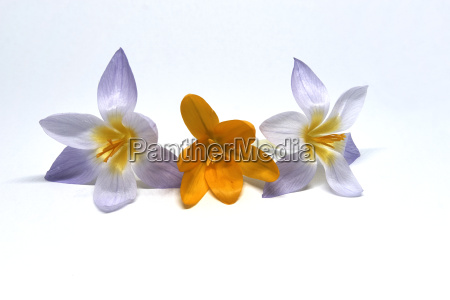 crocuses on a white background