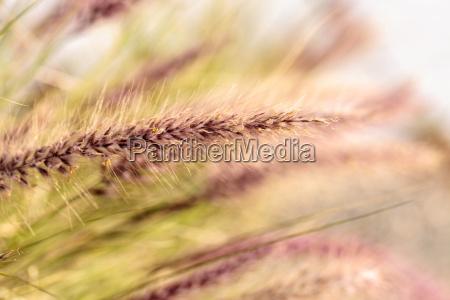 gelbes brunnengras namens pennisetum alopecuroides