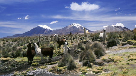 llamas beweidung in sajama nationalpark mit