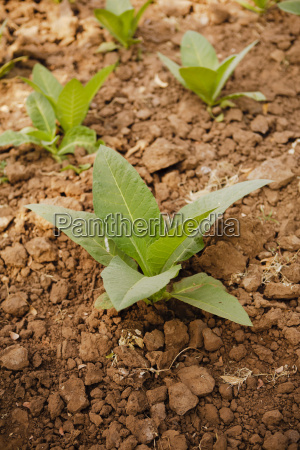 young tobacco nicotiana plants gujarat india
