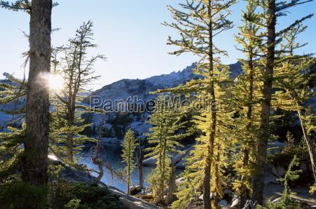 alpine laerchenbaeume larix lyalli verzauberungs seen