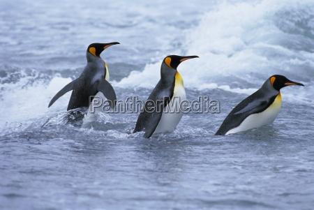 king penguins coming ashore fortuna bay