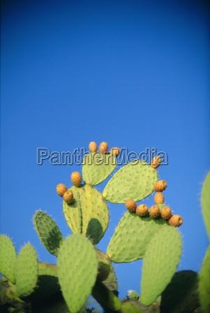 prickly pear cactus sardinia italy mediterranean