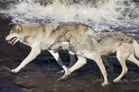 two gray wolves canis lupus running