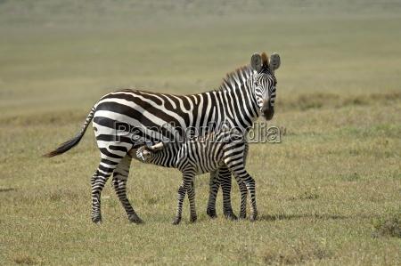 grants zebra plains zebra common zebra