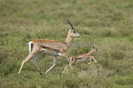 grants gazelle gazella granti mother and