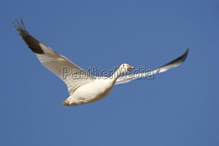 snow goose chen caerulescens in flight