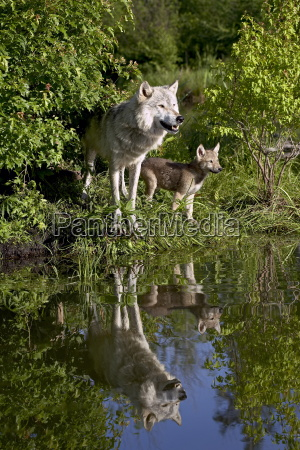 gray wolf canis lupus adult and