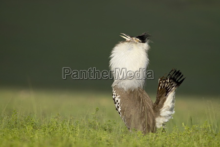 male kori bustard ardeotis kori displaying