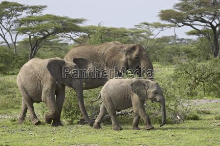 three african elephant loxodonta africana serengeti