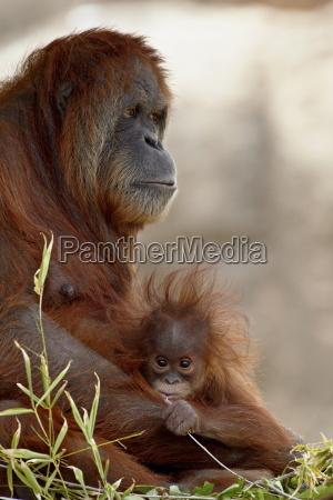 orangutan pongo pygmaeus mother and 6