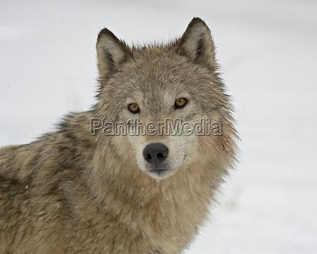 winter tier saeugetier wild portrait portraet