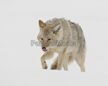 coyote canis latrans in snow yellowstone