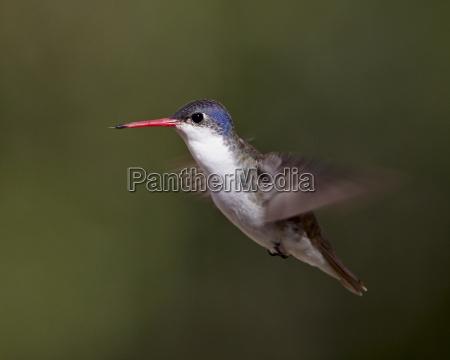 violett gekroenter kolibri amazilia violiceps im