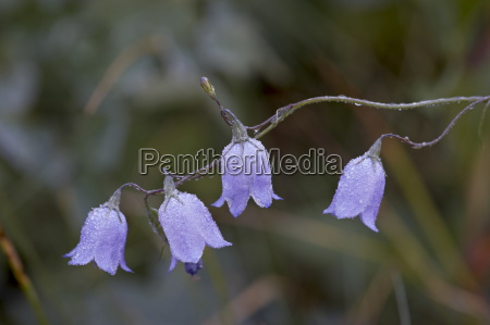 mountain harebell campanula lasiocarpa with frost