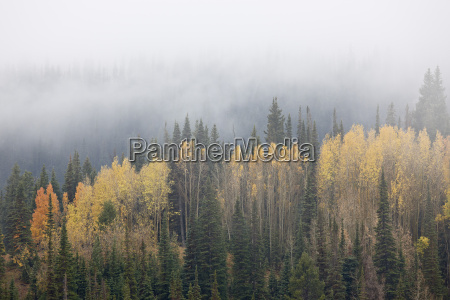 yellow aspens and evergreens with low