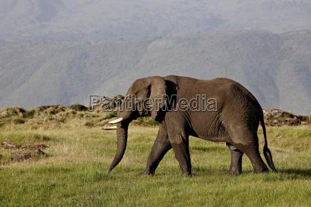 african elephant loxodonta africana ngorongoro crater