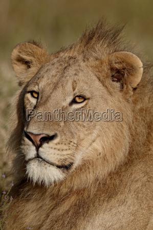 lion panthera leo ngorongoro crater tanzania