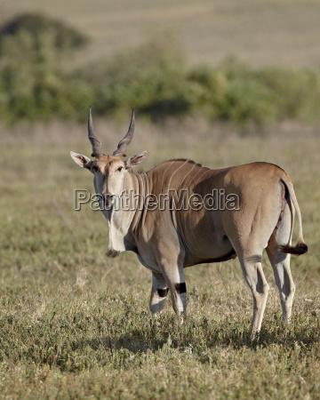 common eland taurotragus oryx ngorongoro crater