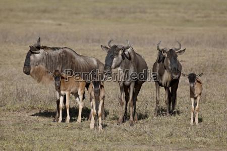 blue wildebeest brindled gnu connochaetes taurinus