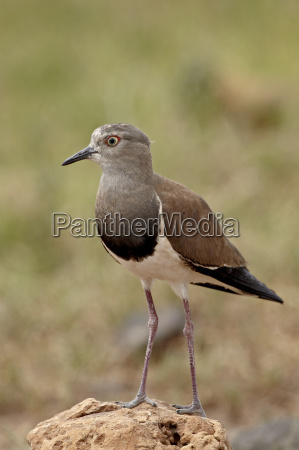 black winged plover black winged lapwing