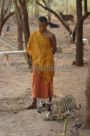 buddhist monk watches over a tiger