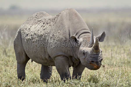 black rhinoceros hook lipped rhinoceros diceros