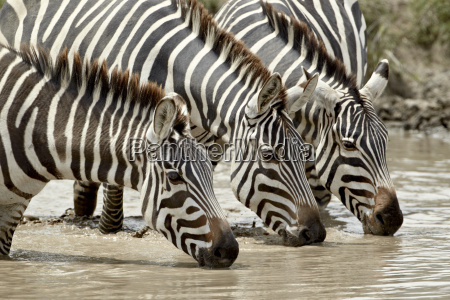 three common zebra burchells zebra equus