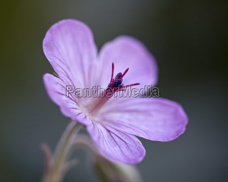 sticky geranie geranium viscosissimum glacier national