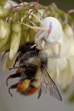 female goldeod spider misumena vatia eating