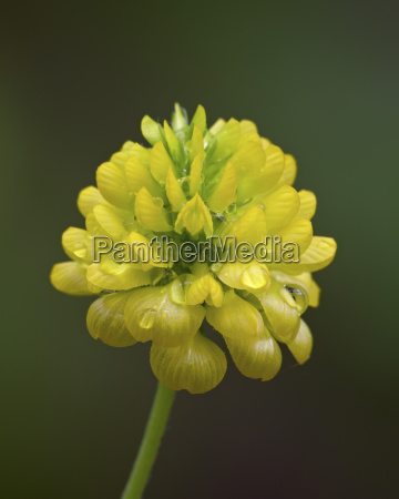 hop klee trifolium aureum trifolium agrarium