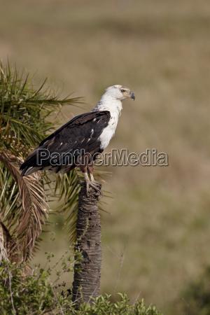 african fish eagle haliaeetus vocifer serengeti