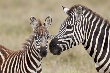 common zebra or burchells zebra equus