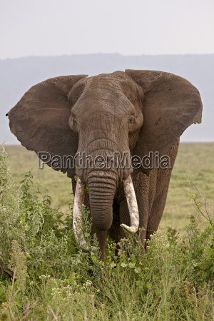 afrikanischer, elefant, (loxodonta, africana), mit, großen - 20729459