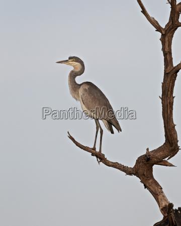 black headed heron ardea melanocephala serengeti